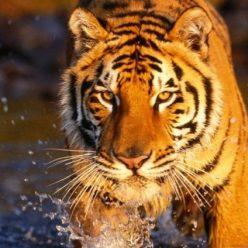 TigerTrack Nepal